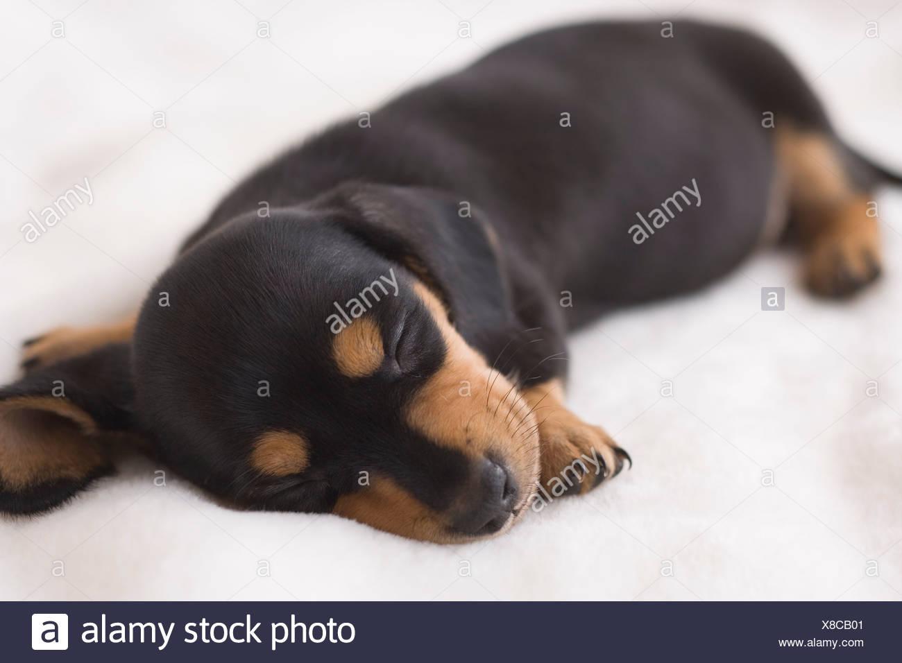 Miniature dachshund sleeping on a blanket - Stock Image