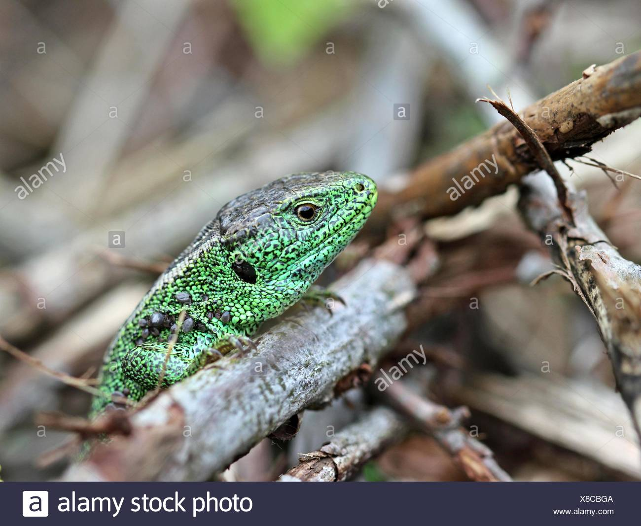 green, lizard, male, masculine, rare, tick, protected, sheltered, reptile, - Stock Image