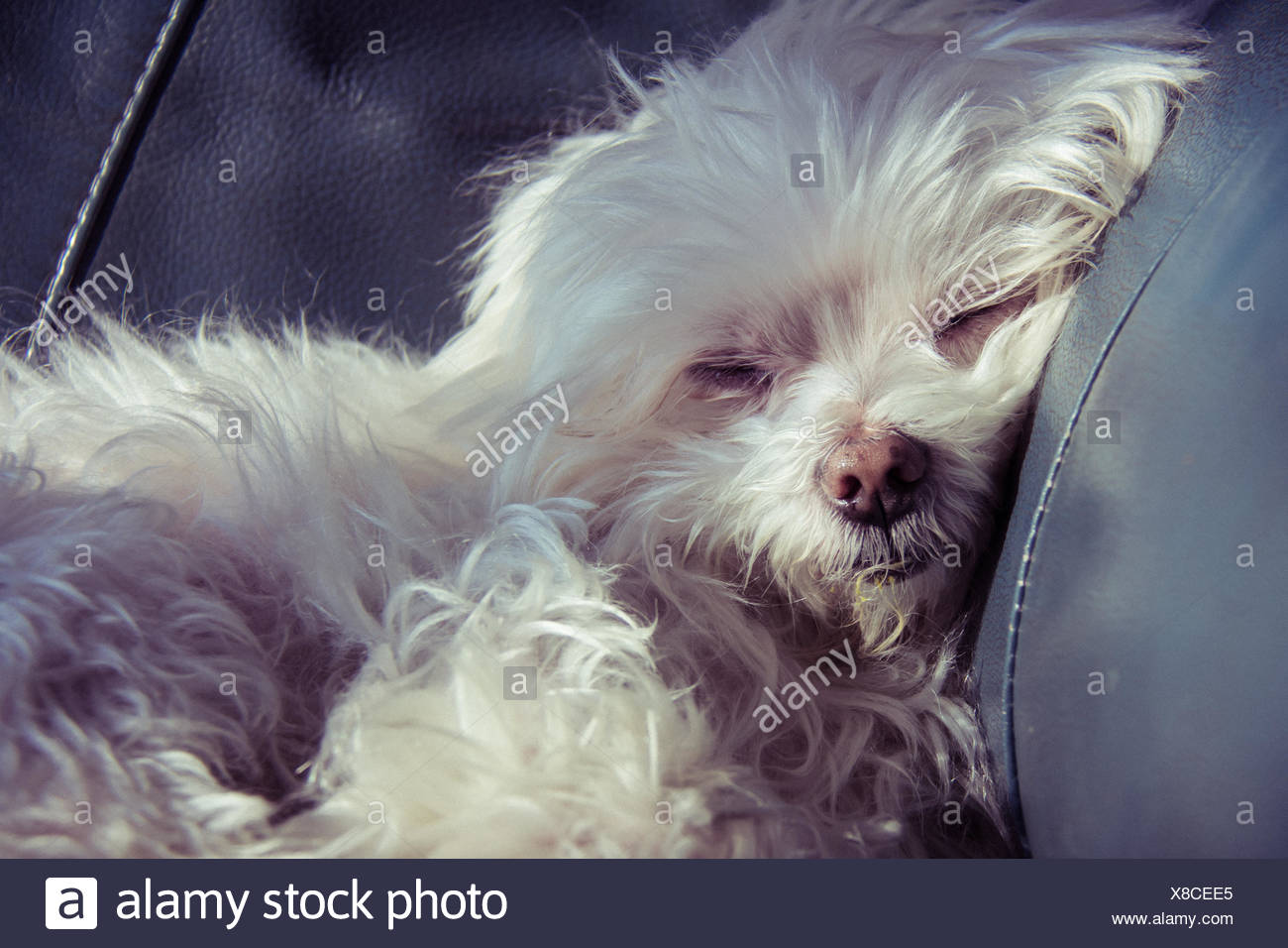 White Maltese Puppy Dog Sleeping On Leather Couch Stock Photo Alamy