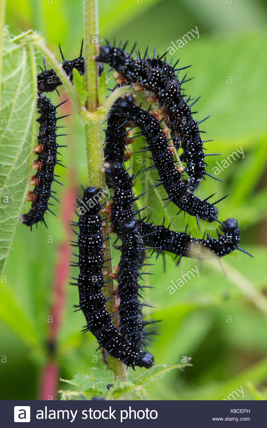 Peacock butterfly, European Peacock (Inachis io, Nymphalis io), caterpillars feed on nettle , Germany, Bavaria - Stock Image
