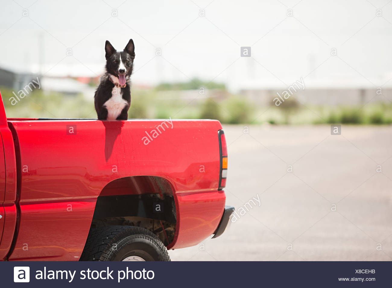Dog in red truck - Stock Image