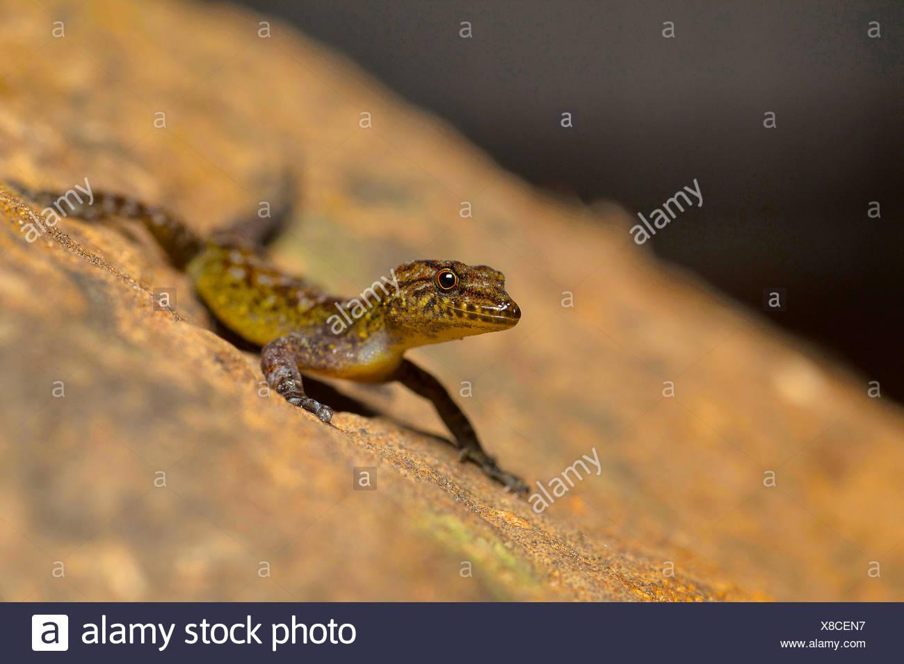 Giri's Day Gecko, Cnemaspis girii, Kaas, Maharashtra, India. Named in honour of Dr. Varad Giri of Bombay Natural History Society - Stock Image