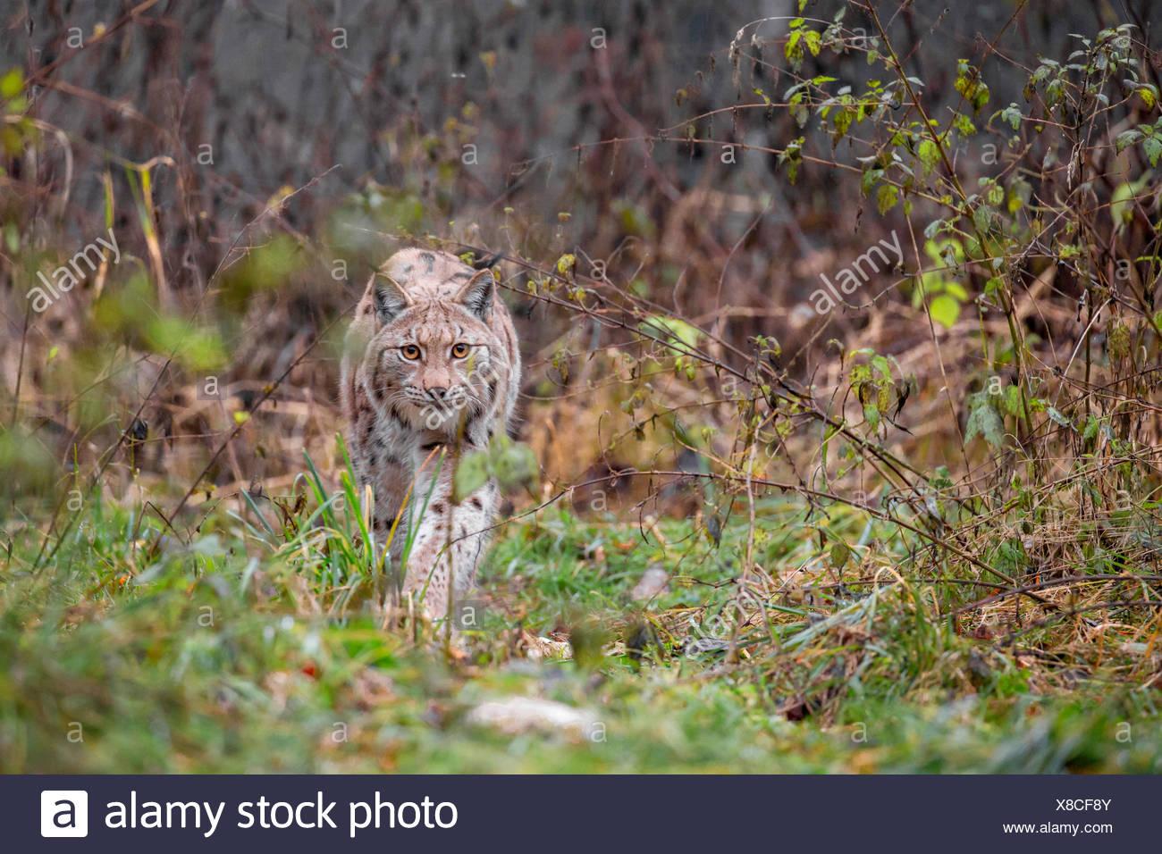northern lynx (Lynx lynx lynx), wandering through its territory - Stock Image