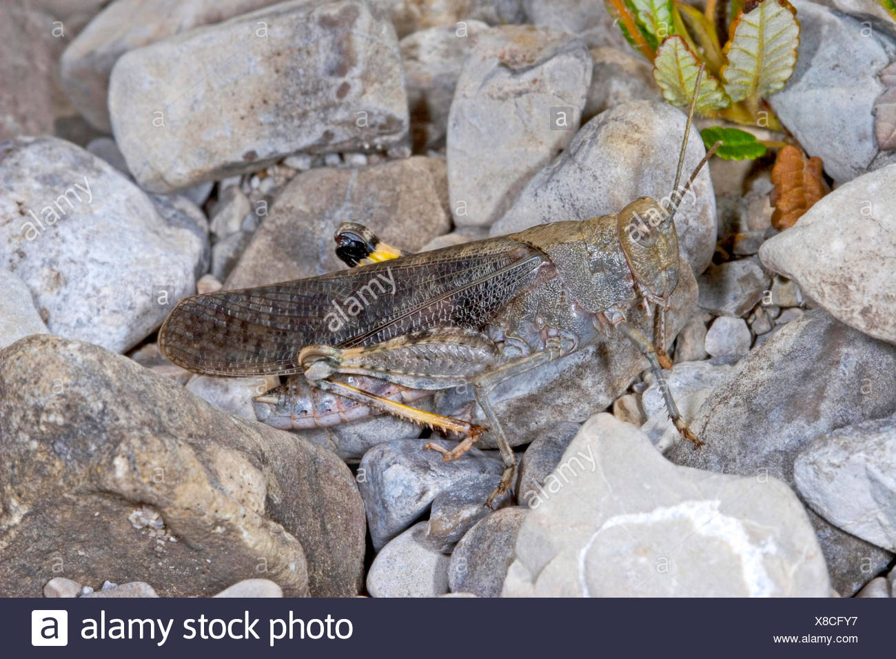 Speckled grasshopper, European Rose-winged Grasshopper  (Bryodema tuberculata, Bryodemella tuberculata), sitting on the ground, Germany - Stock Image