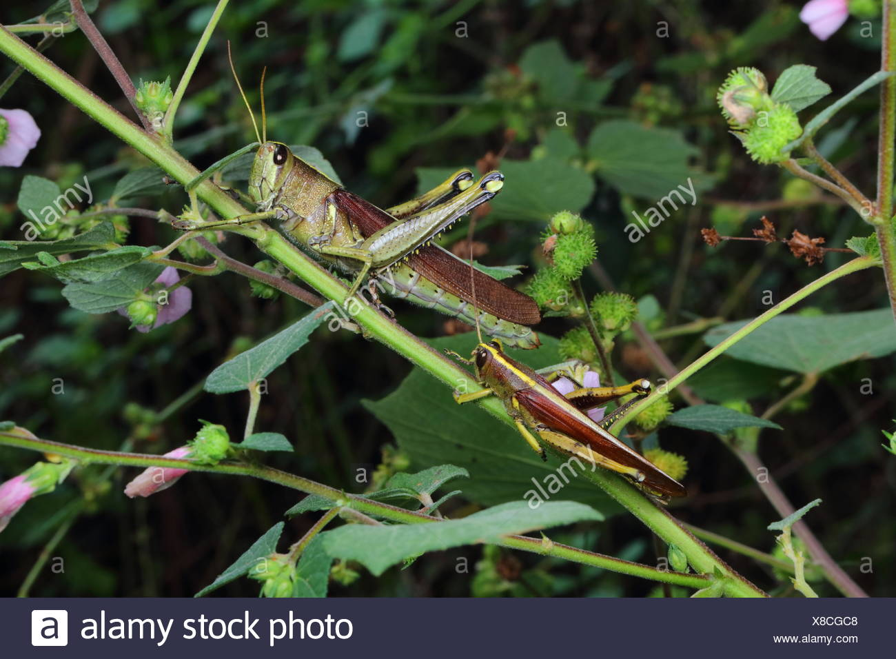 A pair of obscure bird grasshoppers, Schistocera obscura, resting on a stem. - Stock Image