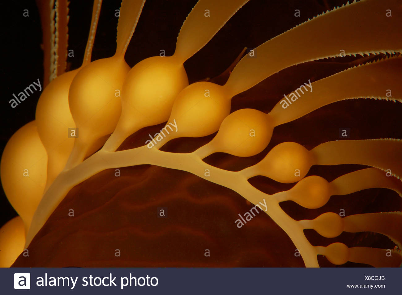 Giant Kelp Detail of Bubbles Macrocystis pyrifera Santa Catalina Island Channel Islands Pacific California USA - Stock Image