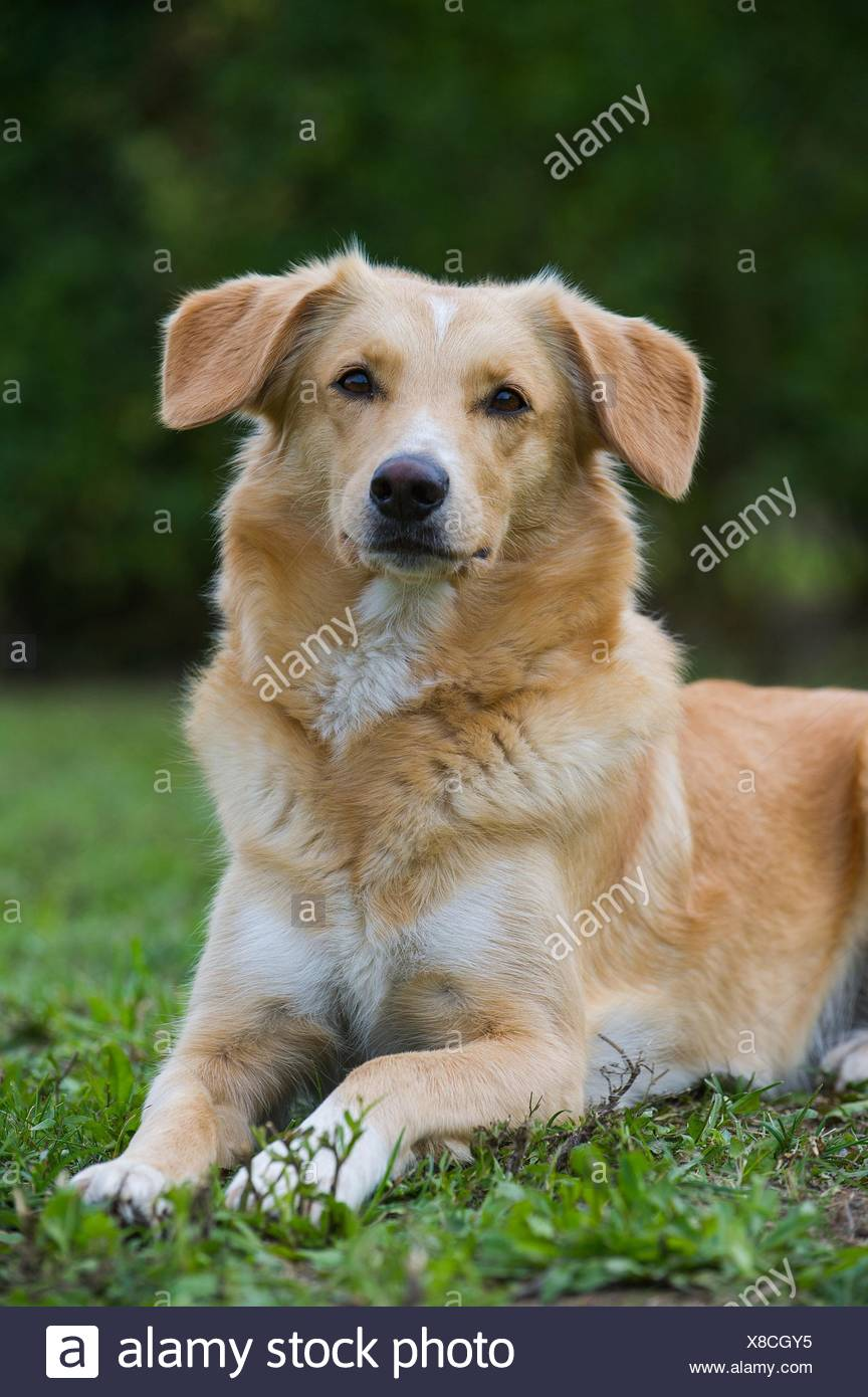 lying mongrel - Stock Image