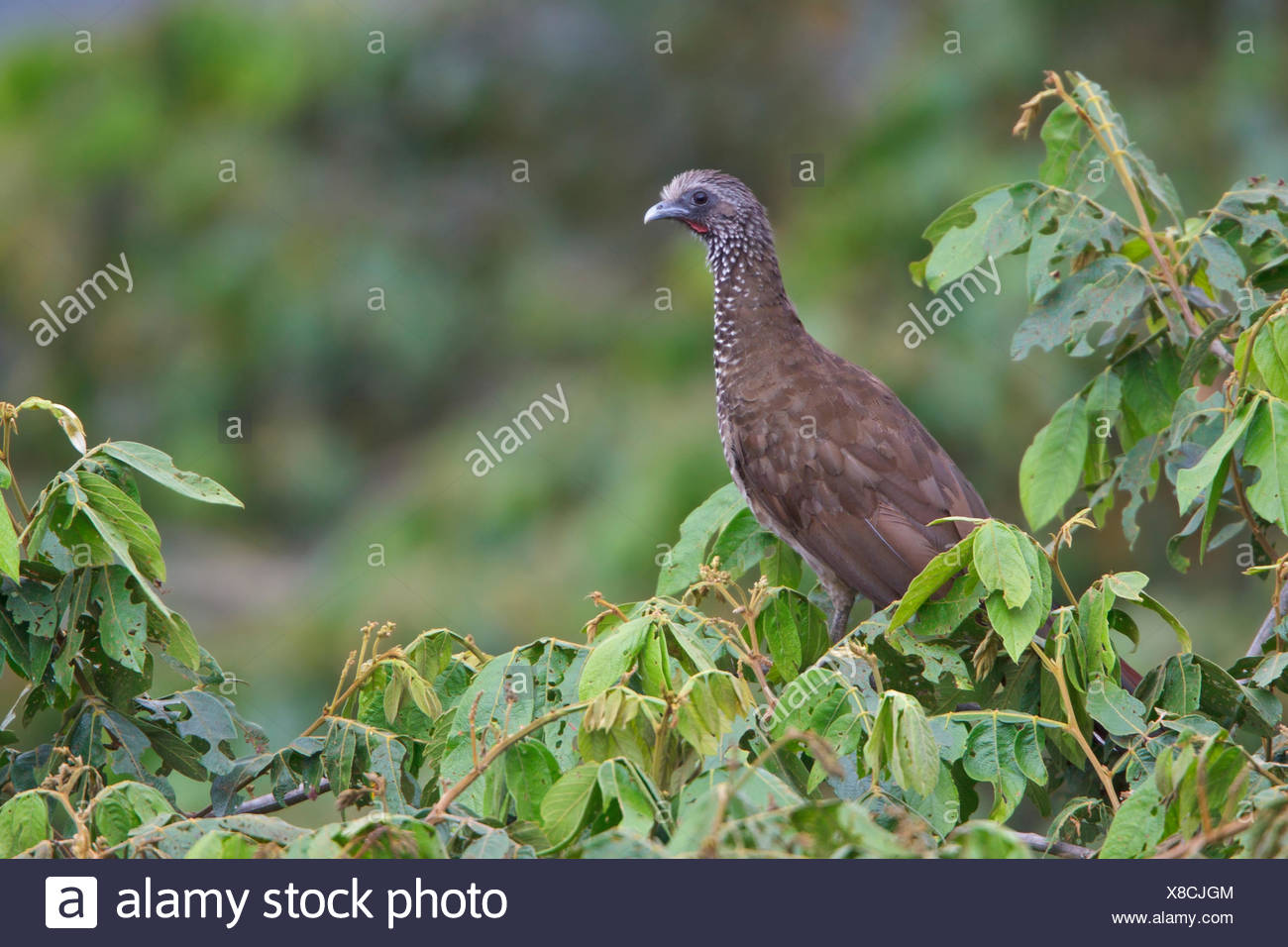 Speckled Chachalaca (Ortalis guttata) perched on a branch in Bolivia, South America. - Stock Image