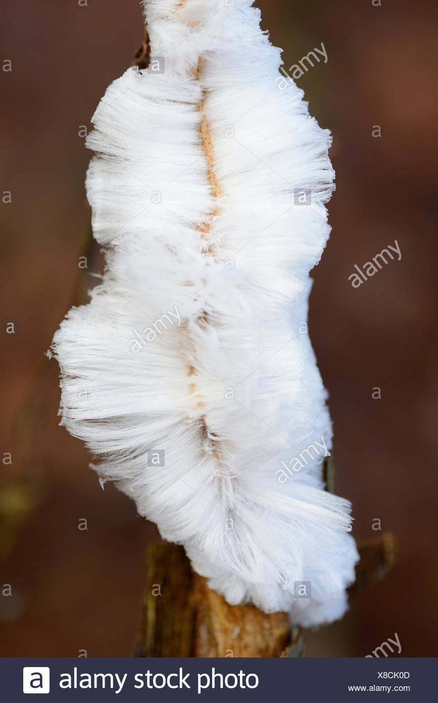 Frost flower is formed on cold mornings when it's almost zero degrees celcius and the humidity from the dead wood is pressed outside and gets frozen - Stock Image