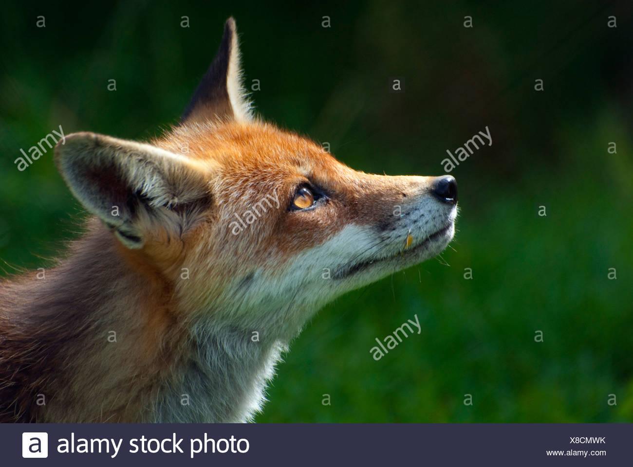 Red Fox, British Wildlife Centre, UK (captive) - Stock Image