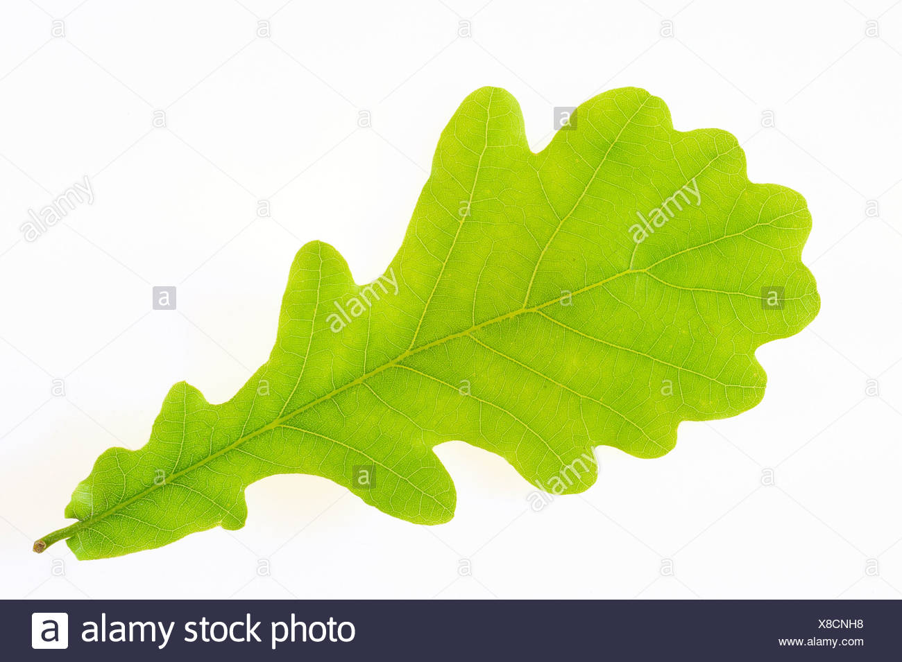 Close-up of an oak leaf over white background Stock Photo