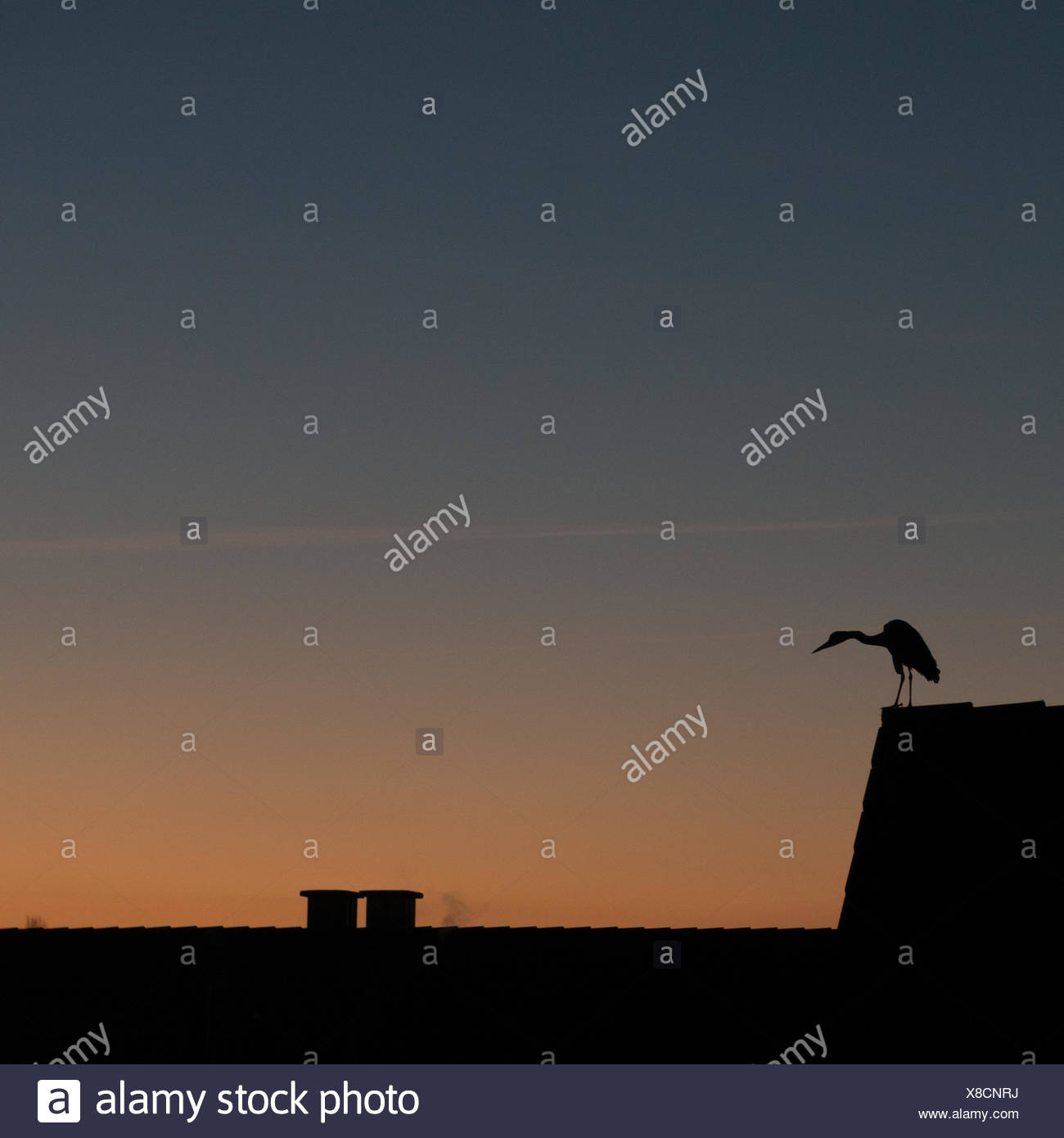 Germany, North Rhine-Westphalia, Dusseldorf, Bird at sunset Stock Photo