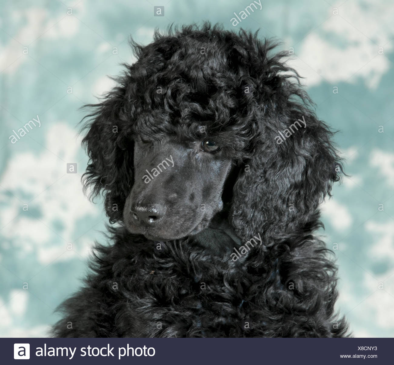 Standard Poodle Puppy Portrait 8 Weeks Old Stock Photo