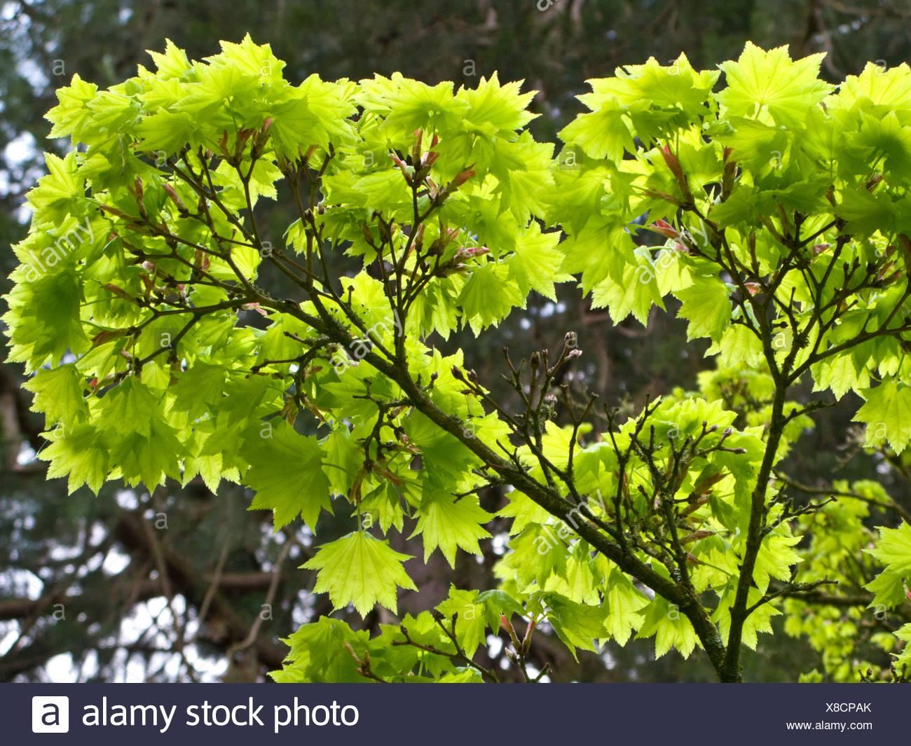 Japanese Maple Acer Shirasawanum Aureum Stock Photo 280564107