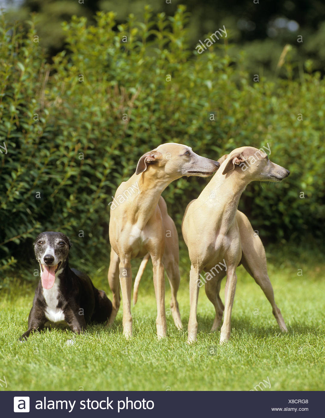 three Whippets on meadow Stock Photo