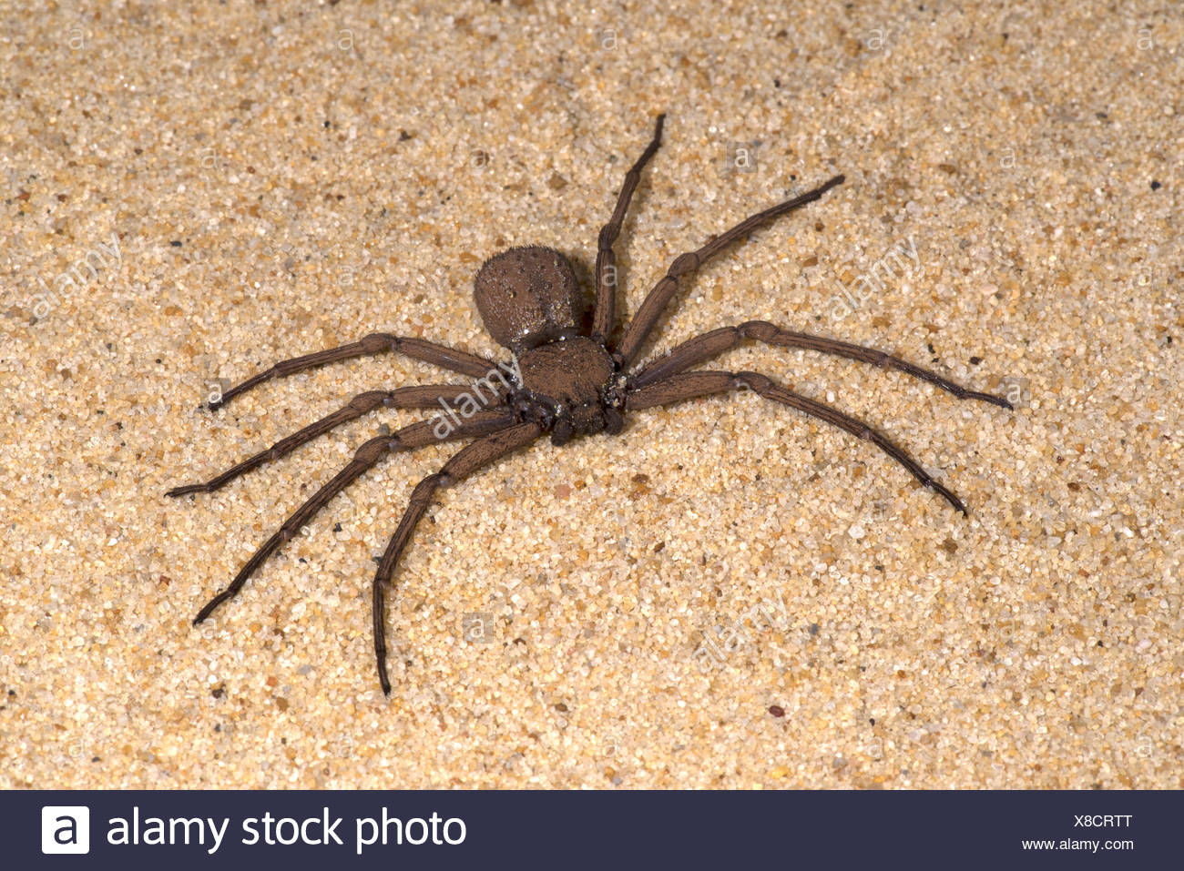 Sand Spider Sicarius Terrosus Sequence 1 Of Burying In Sand Alsoed Six Eyed Sand Spider Of Southern Africa Six Eyes Arranged In Three Groups