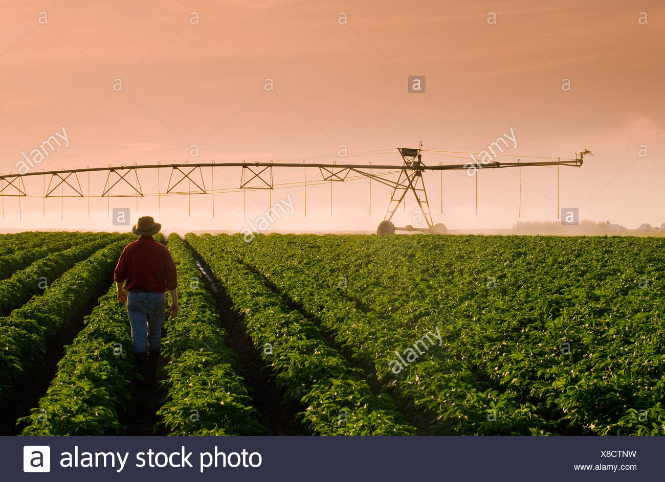 A farmer stands in his mid growth potato field observing a center pivot irrigation system in operation in late afternoon light. - Stock Image