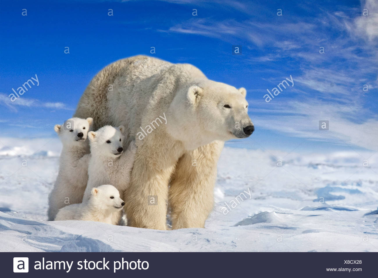 View of Polar Bear sow with her triplet cubs on the wind swept plains of Wapusk National Park, Manitoba, Canada COMPOSITE - Stock Image