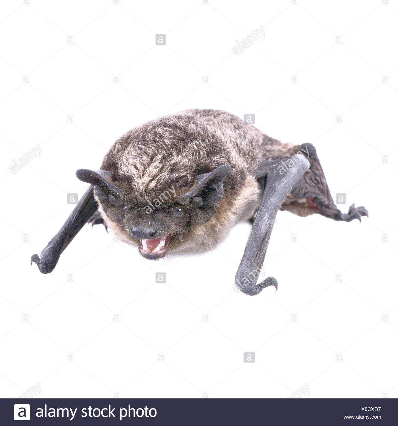 Angry bat on a white background - Stock Image