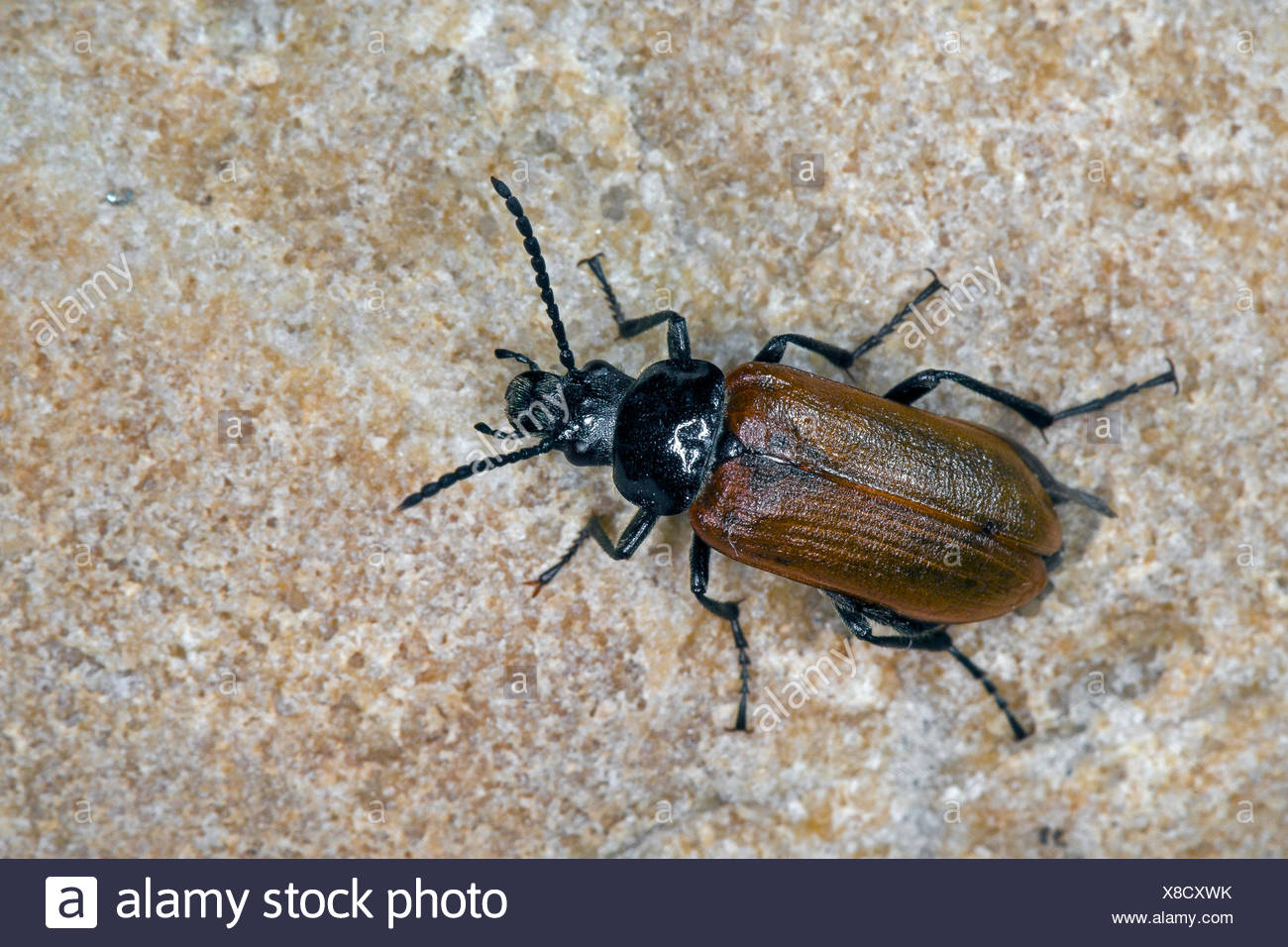 Comb-clawed beetle, Comb clawed beetle (Omophlus lepturoides, Odontomophlus lepturoides), on a stone, Germany - Stock Image