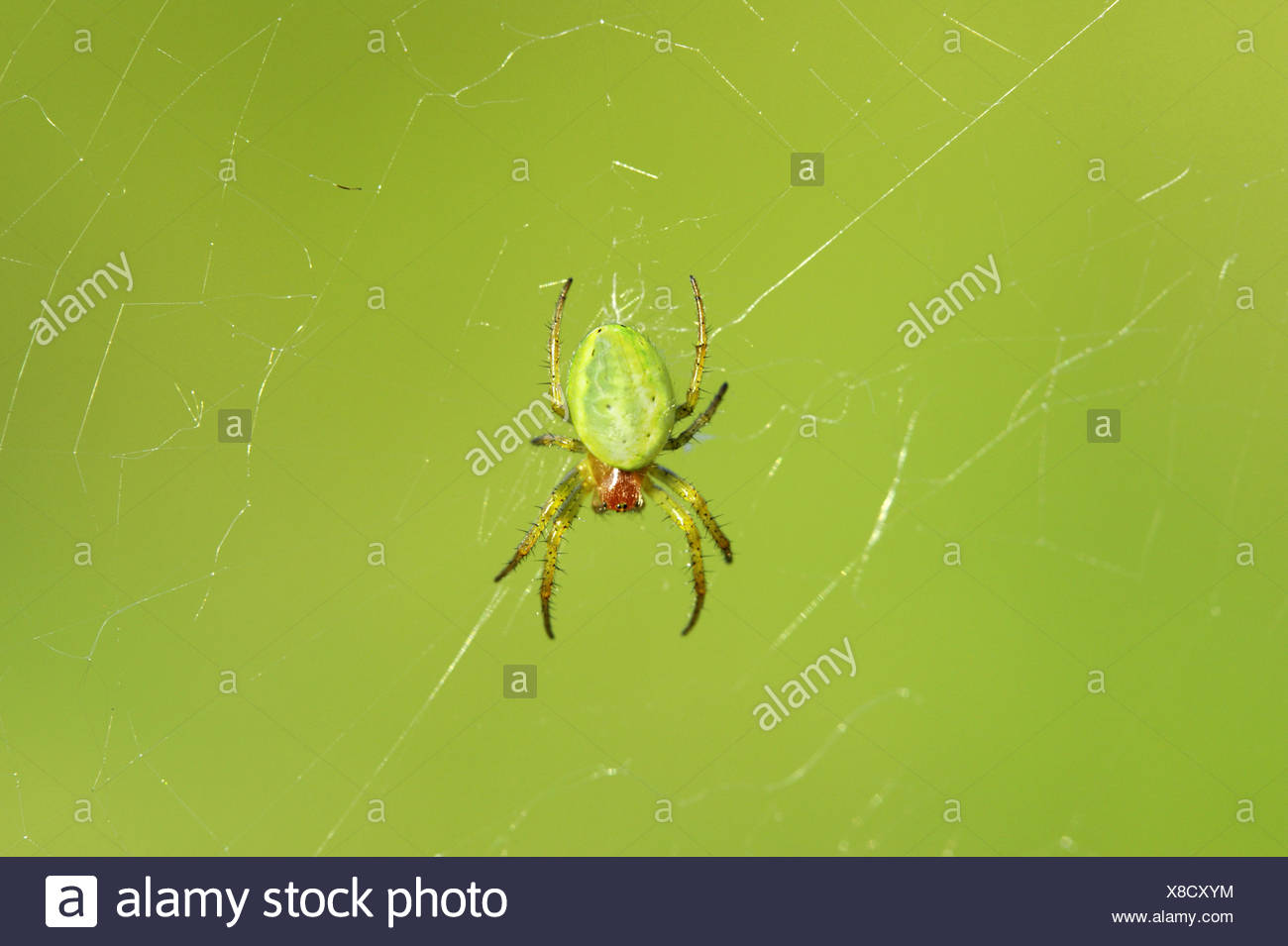 Cucumber Green Orb spider - Araniella curcurbitina - Stock Image