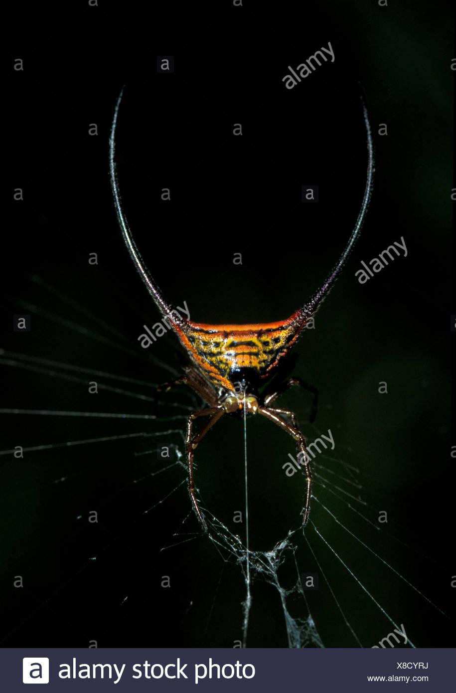 Curved Spiny Spider, Gasteracantha arcuata, Sukau River area, Sabah, Borneo, on web at night - Stock Image