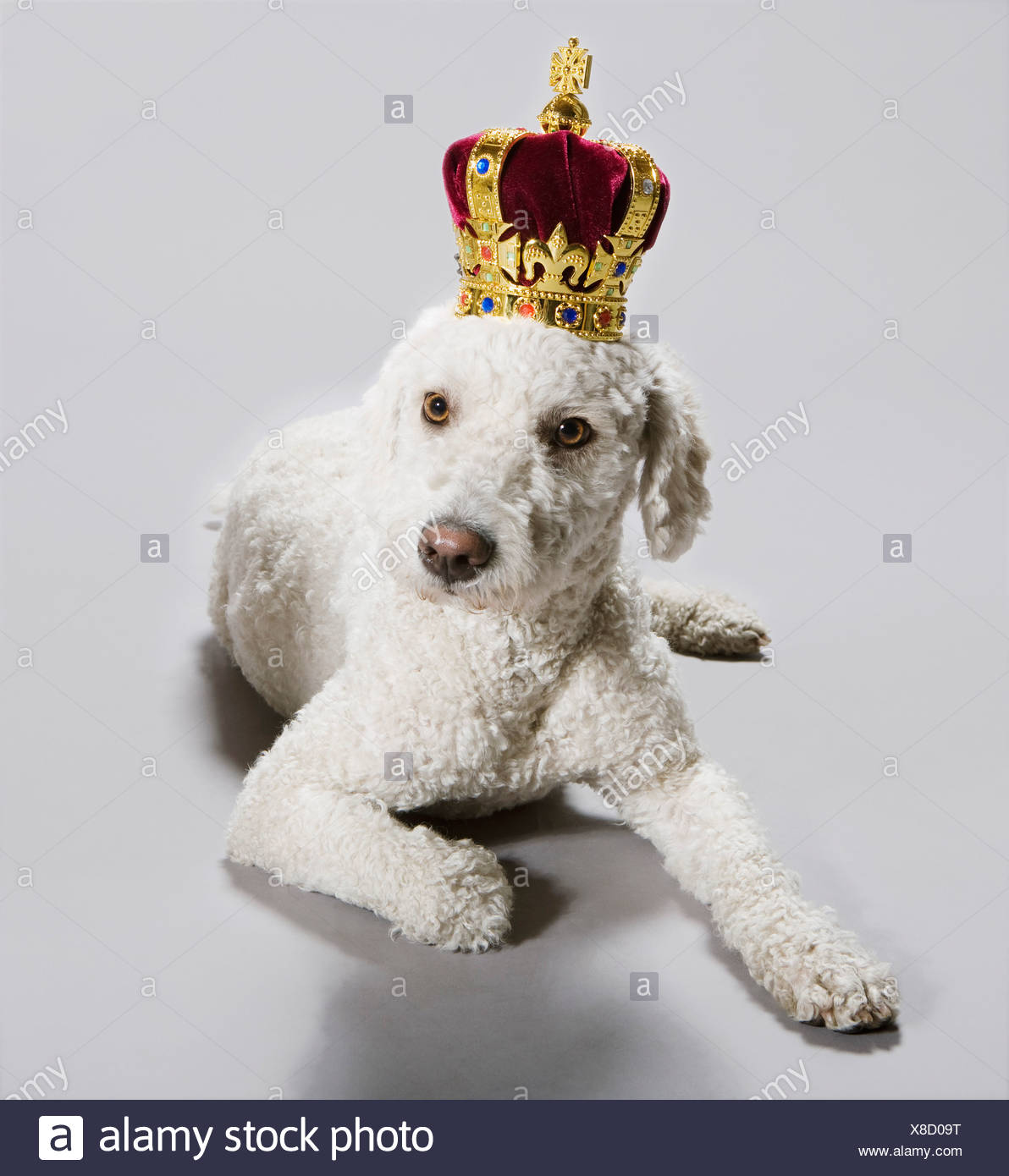 A Portuguese Waterdog wearing a crown - Stock Image