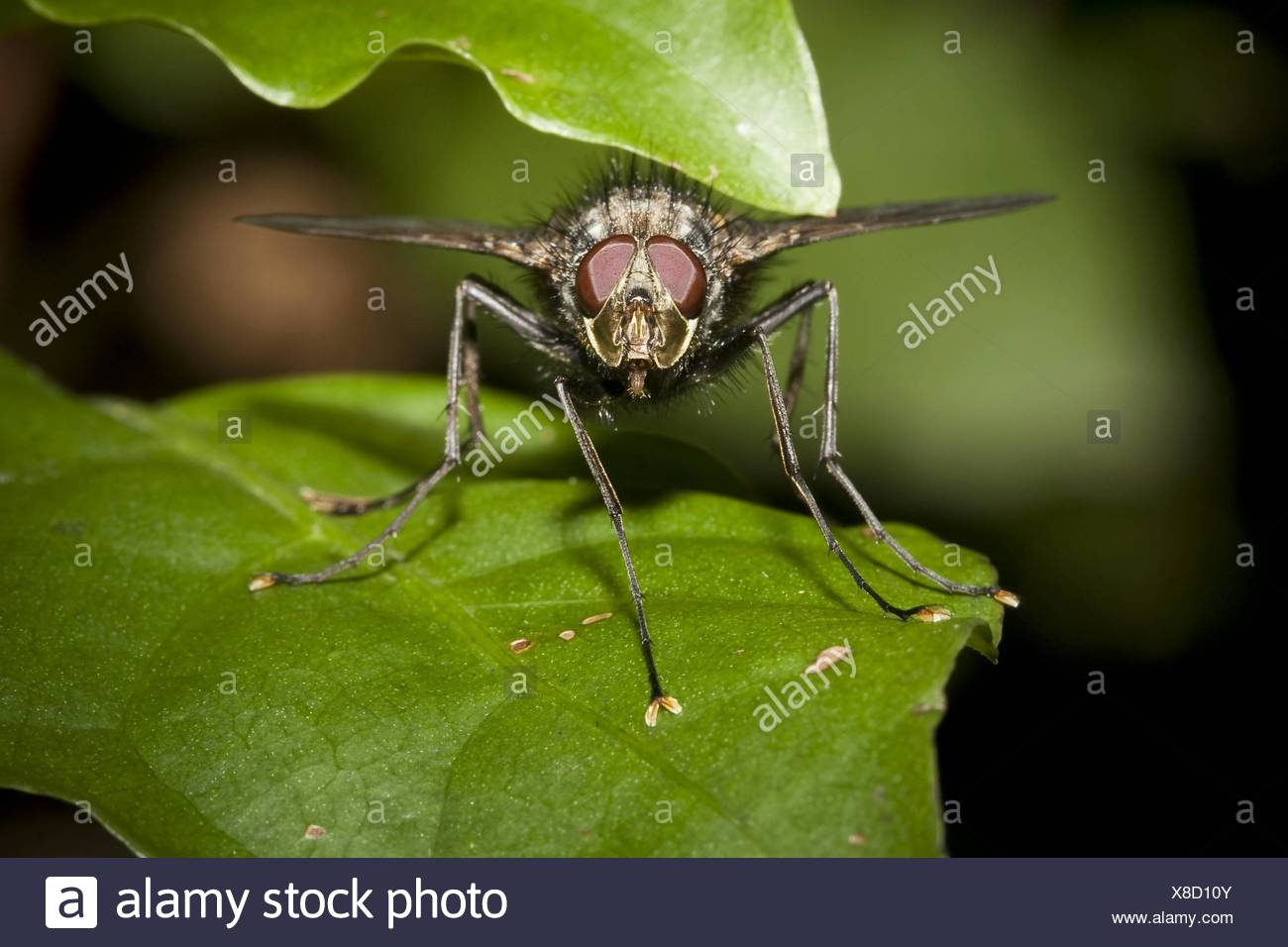 Tachinid fly, order Diptera, family Tachinidae  Photographed in Costa Rica Stock Photo