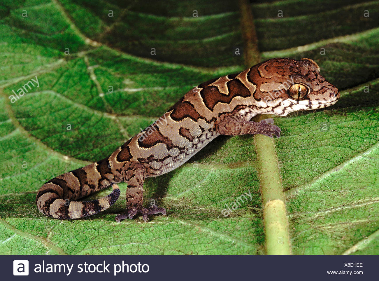 Blotched gecko. Geckoella Nebulosa. A ground dwelling gecko found in central India. - Stock Image