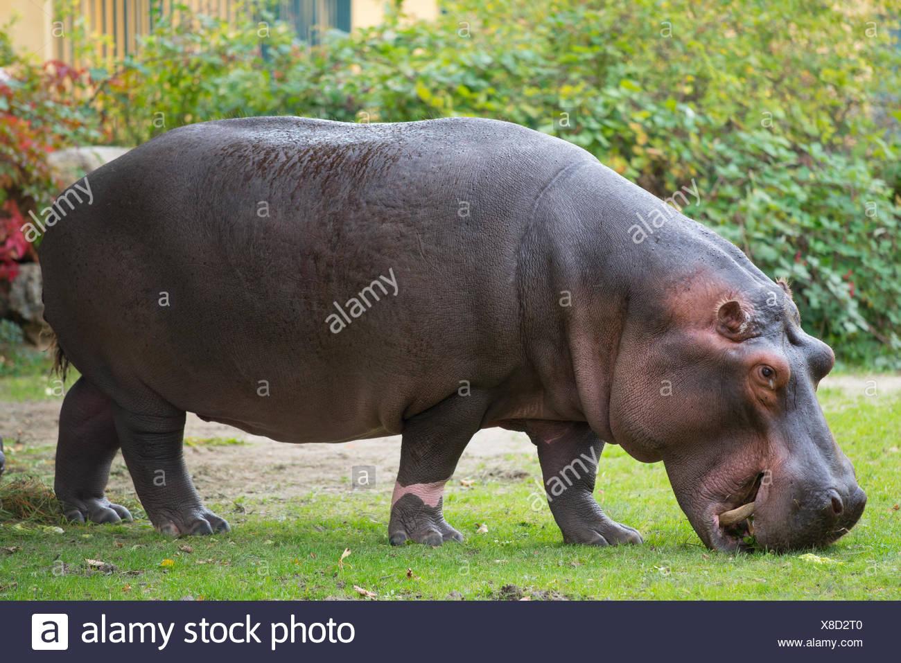 browsing hippo - Stock Image
