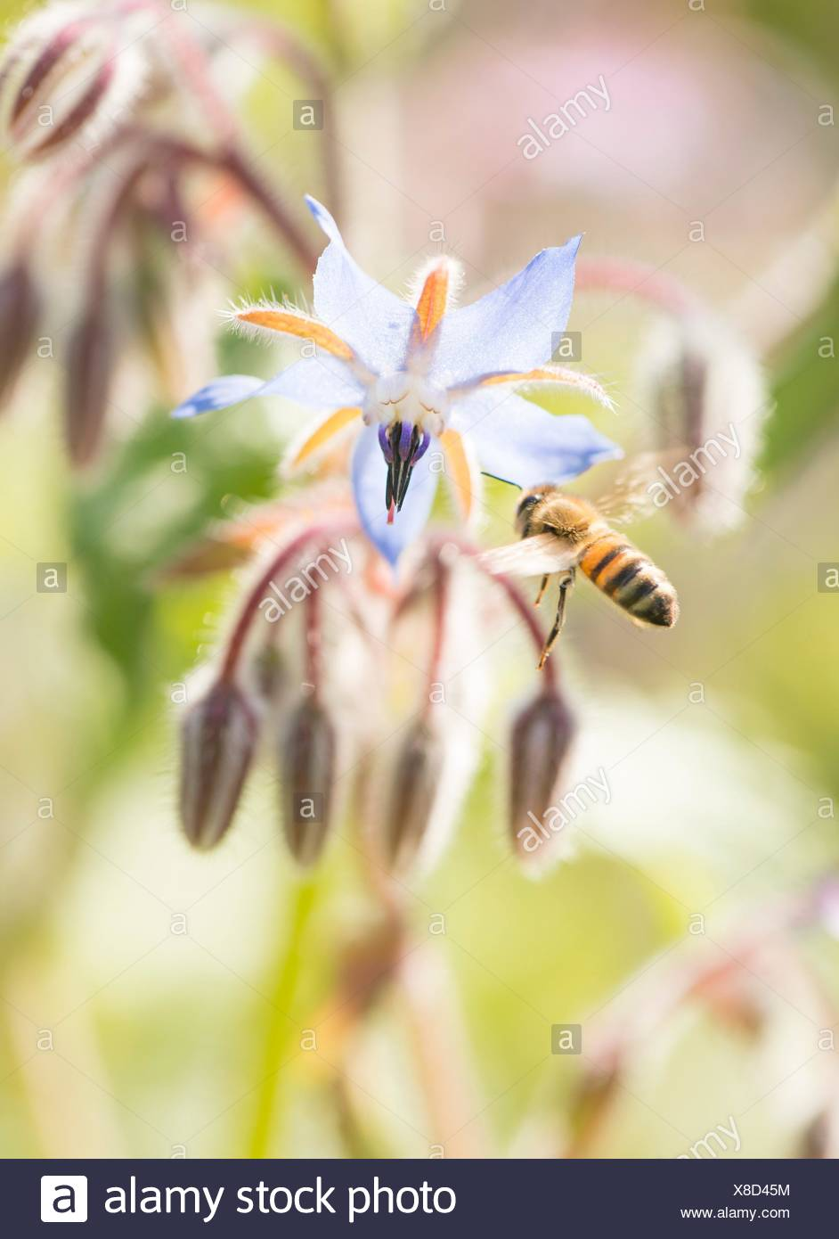 Bee close up. Beautiful summer nature detail with pollination of flower in garden. Concept of making honey, ecosystem and insect wildlife. - Stock Image