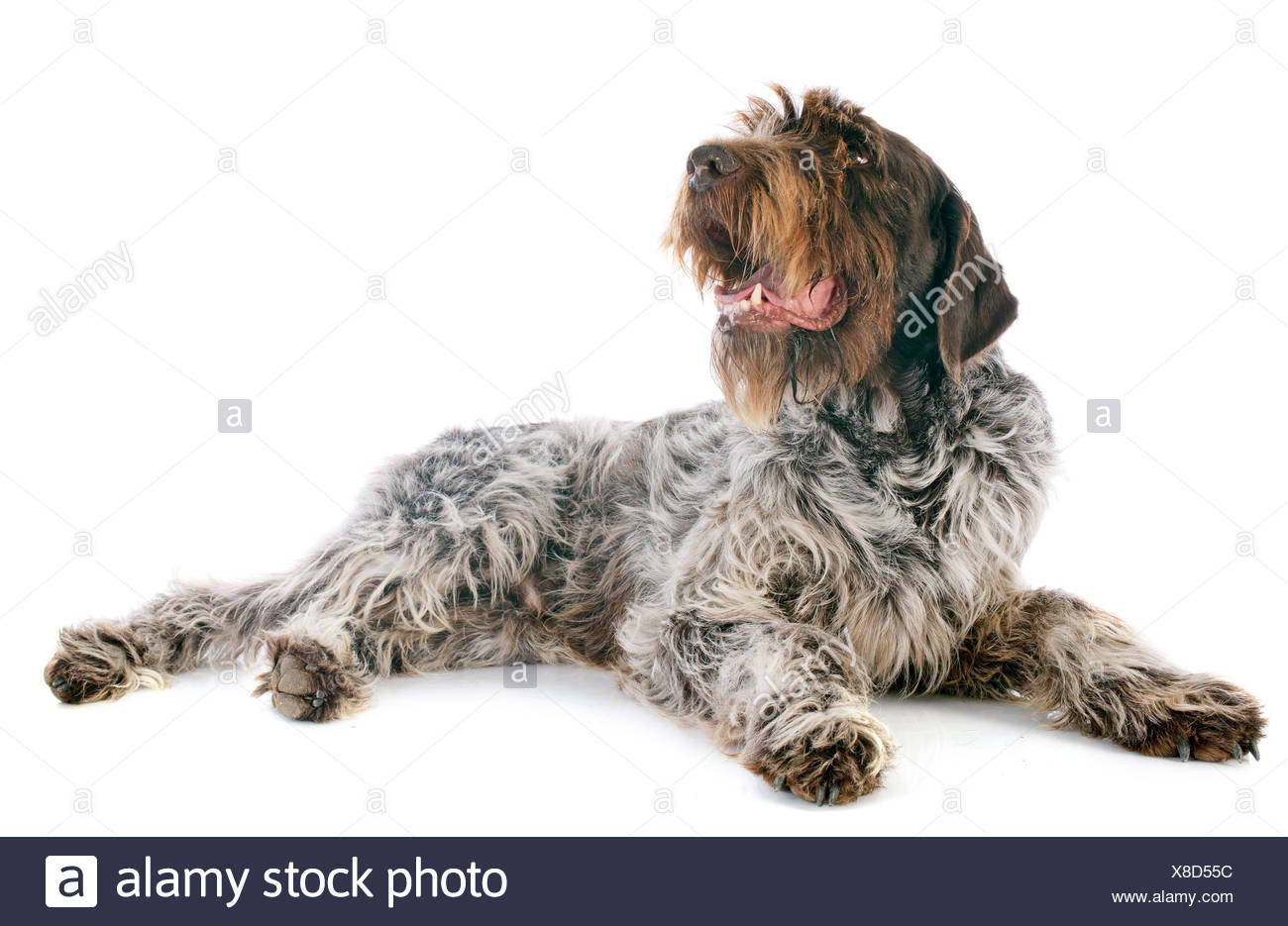 Wirehaired Griffon Stock Photos & Wirehaired Griffon Stock Images ...