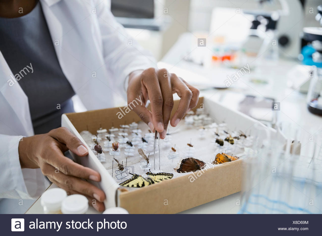 Scientist removing butterfly specimens from box with tweezers - Stock Image