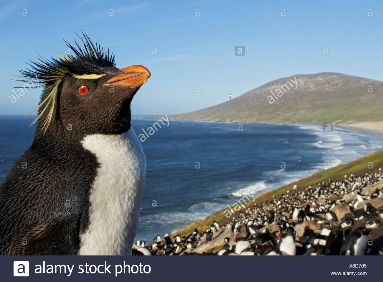 Rockhopper Penguin (Eudyptes chrysocome) at a nesting colony in the Falkland Islands. - Stock Image