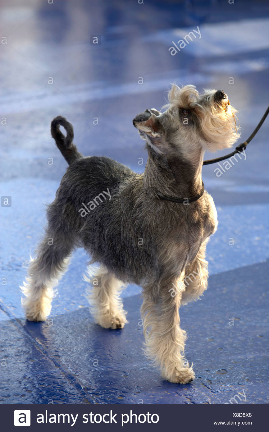 Obedient dog looking up - Stock Image