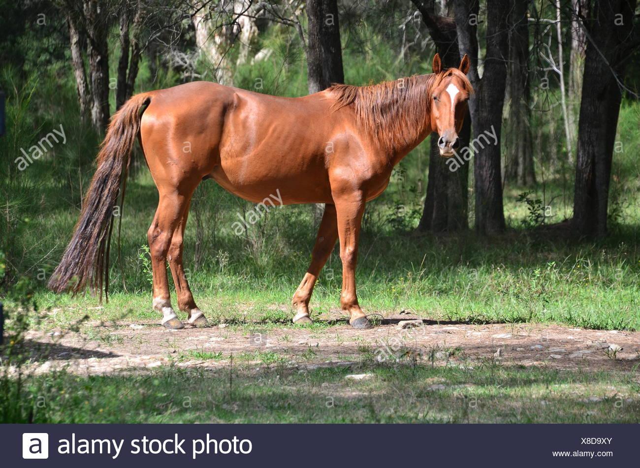 gelding riding - Stock Image