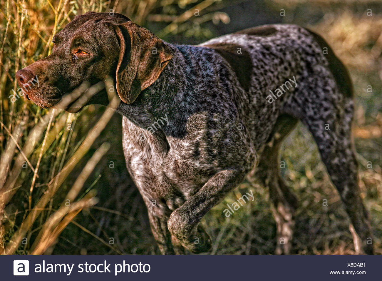 German Short Haired pointer dog hunting - Stock Image