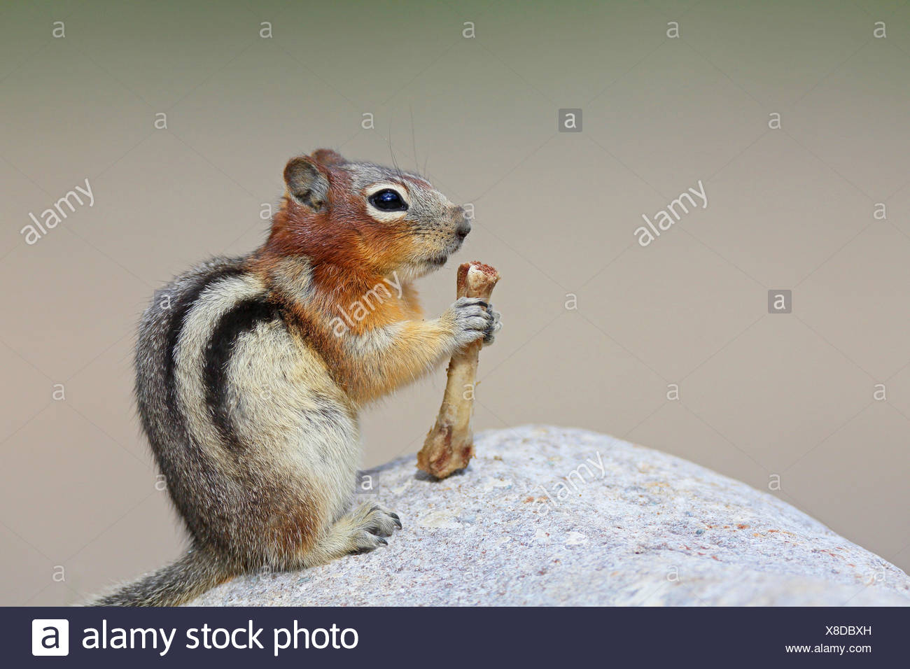golden-mantled ground squirrel (Spermophilus lateralis, Citellus lateralis, Callospermophilus lateralis), sits on a rock and feeds a bone, Cananda, Banff National Park - Stock Image