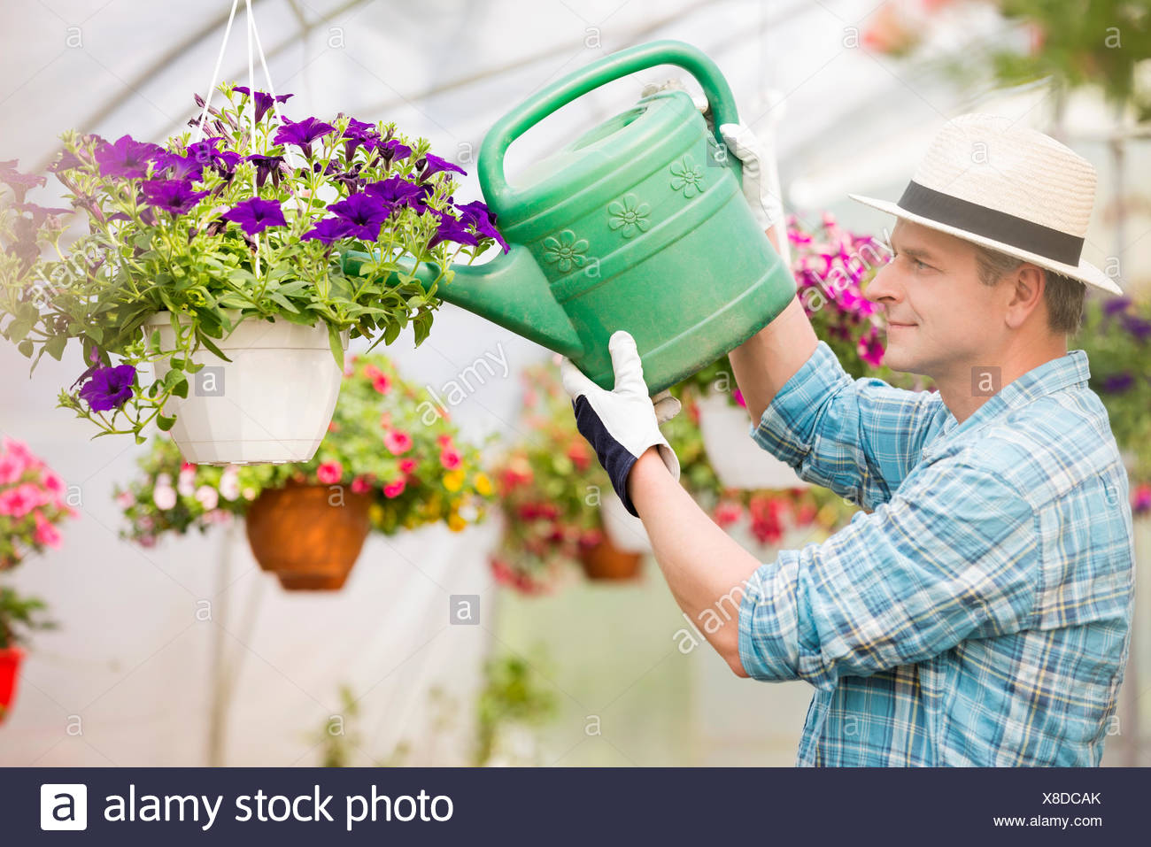 Side view of middle-aged man watering flower plants in greenhouse - Stock Image