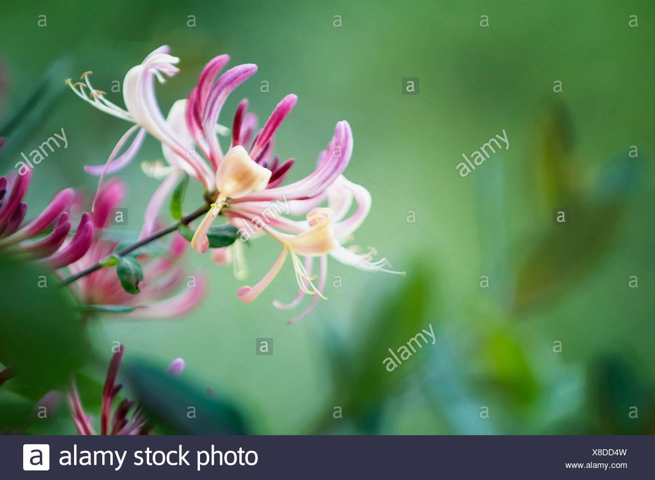 Lonicera Periclymenum Honeysuckle Purple And Cream Coloured
