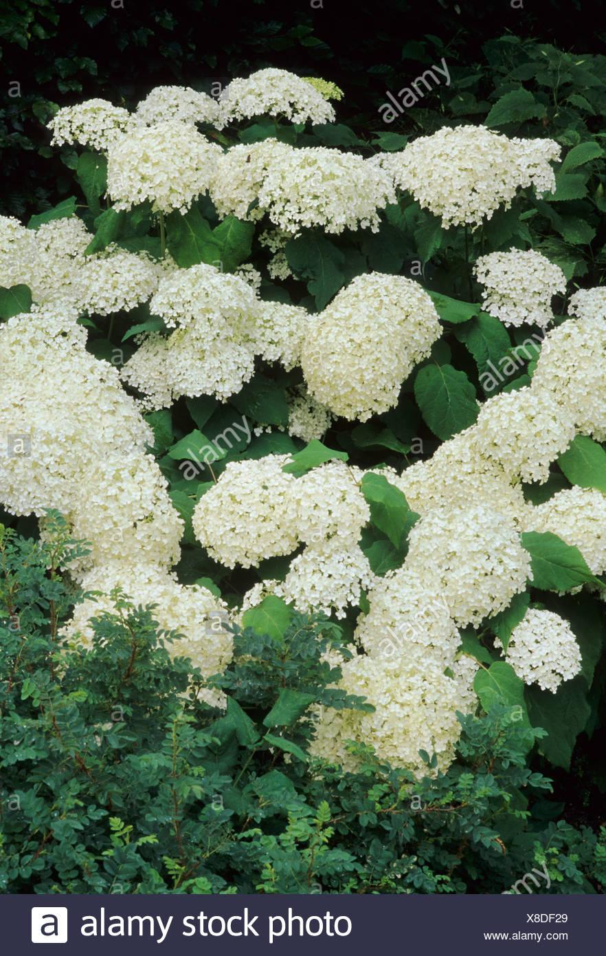 Hydrangea Arborescens Annabelle White Flower Flowers Garden Plant