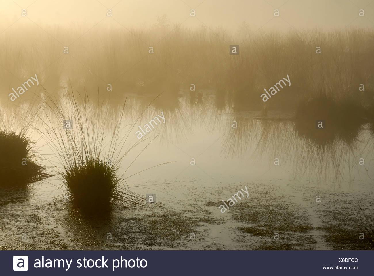 Misty morning atmosphere on the moors, Purple Moor Grass (Molinia caerulea) in an moor pond, Breitenburger Moor, Schleswig-Hols - Stock Image