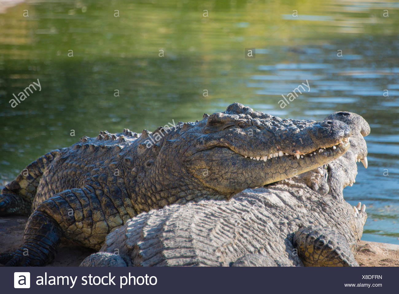 Nile Crocodiles (Crocodylus niloticus), crocodile farm, Otjiwarongo, Namibia - Stock Image