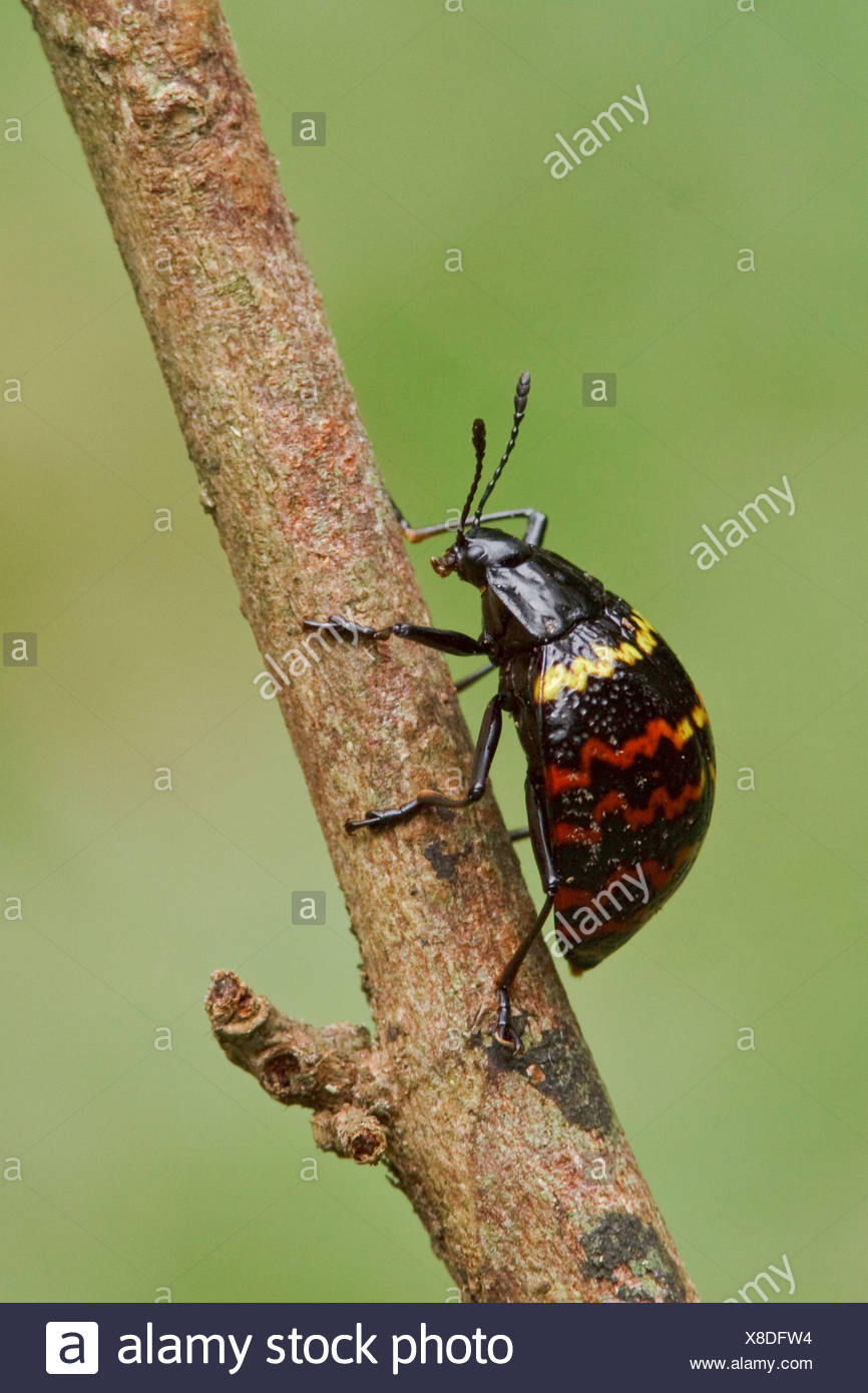 A colourful beetle perched on a branch in Amazonian Ecuador. - Stock Image