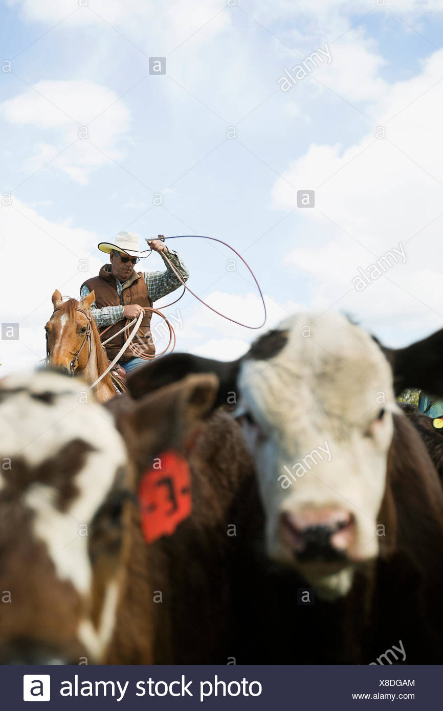 Cattle rancher on horseback lassoing cows - Stock Image
