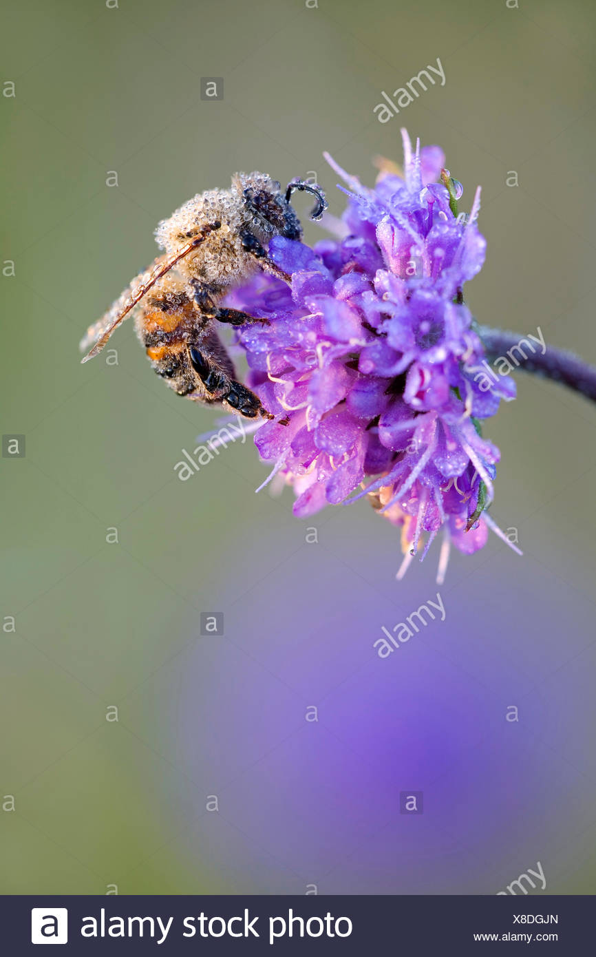 honey bee, hive bee (Apis mellifera mellifera), on a gipsy rose with morning dew, Denmark, Jylland - Stock Image