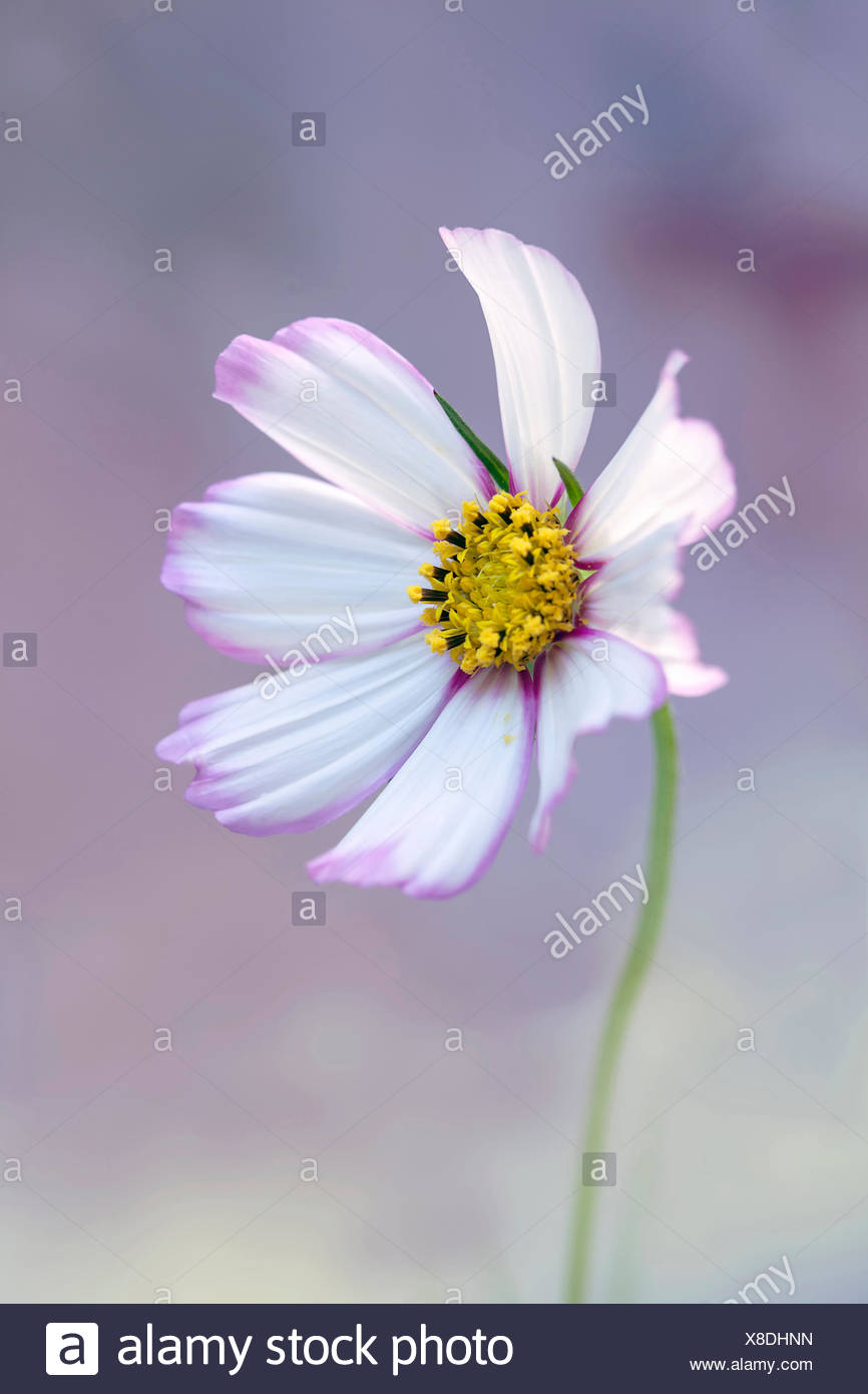 Cosmos bipinnatus 'Daydream', Front view of one fully open flower with white petals tinged with pink at the centre and edges, and yellow stamens, Against soft blue and pink background. - Stock Image