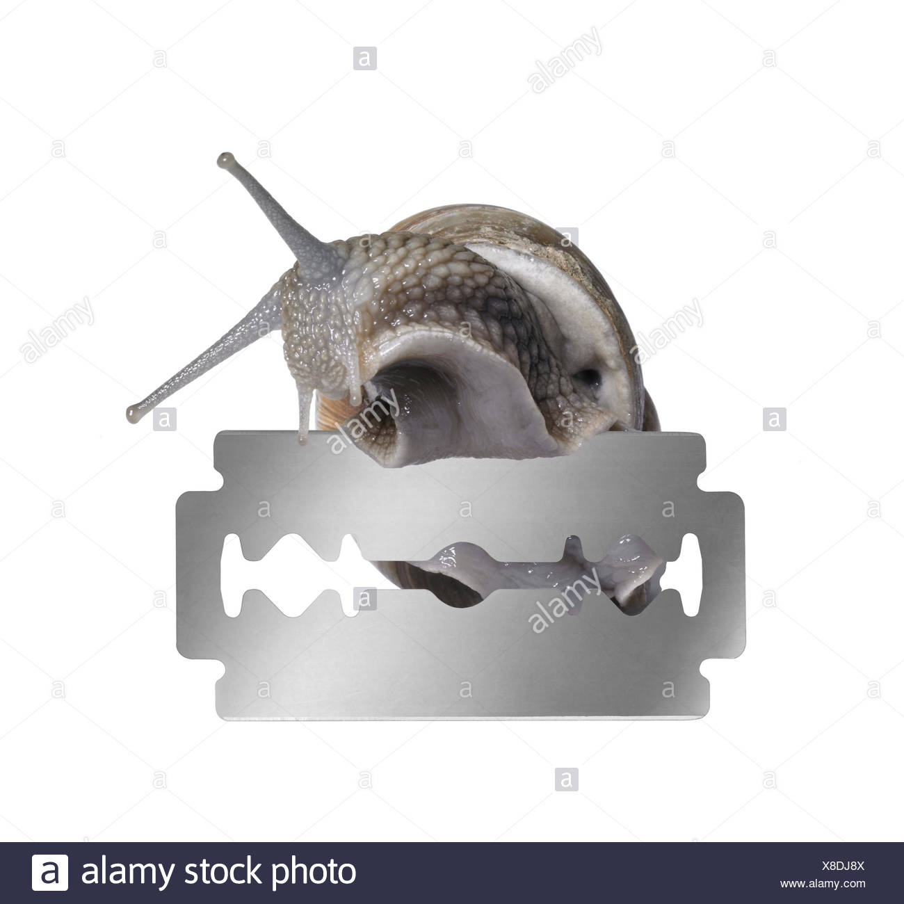 studio photography of a Grapevine snail creeping on the edge of a razor blade in white back Stock Photo