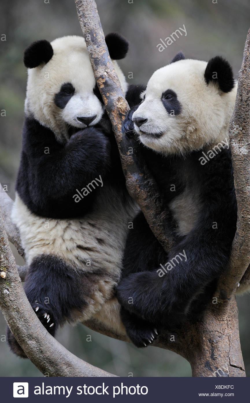 Two subadult Giant pandas (Ailuropoda melanoleuca)  climbing in tree. Wolong Nature Reserve, Wenchuan, Sichuan Province, China. Captive. - Stock Image