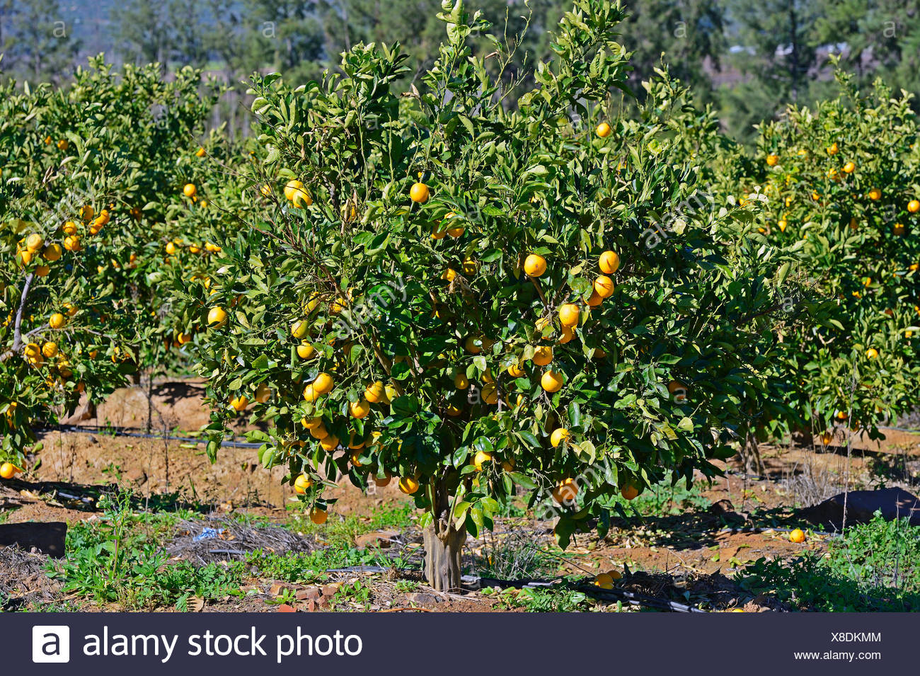 Oranges on trees in a plantation, near Clanwilliam, Western Cape, South Africa - Stock Image